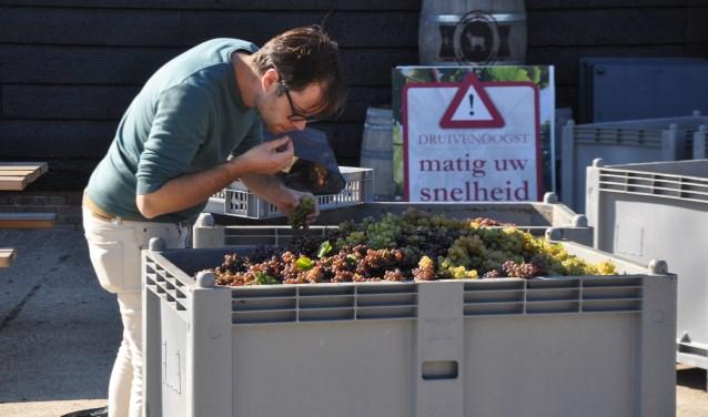 Benjamin Wegman van de Leidse Brouwerij Pronck keurt de versgeplukte druiven die hij gaat gebruiken in zijn witbier. FOTO: Anneke Flikweert