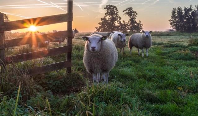 Wandeling door het Loetbos. Genietend van de prachtige ochtend met mist en de zonsopkomst. De schapen kwamen nieuwschierig kijken wat ik aan het doen was. We stonden oog in oog. Ik leg het vast met mijn camera.