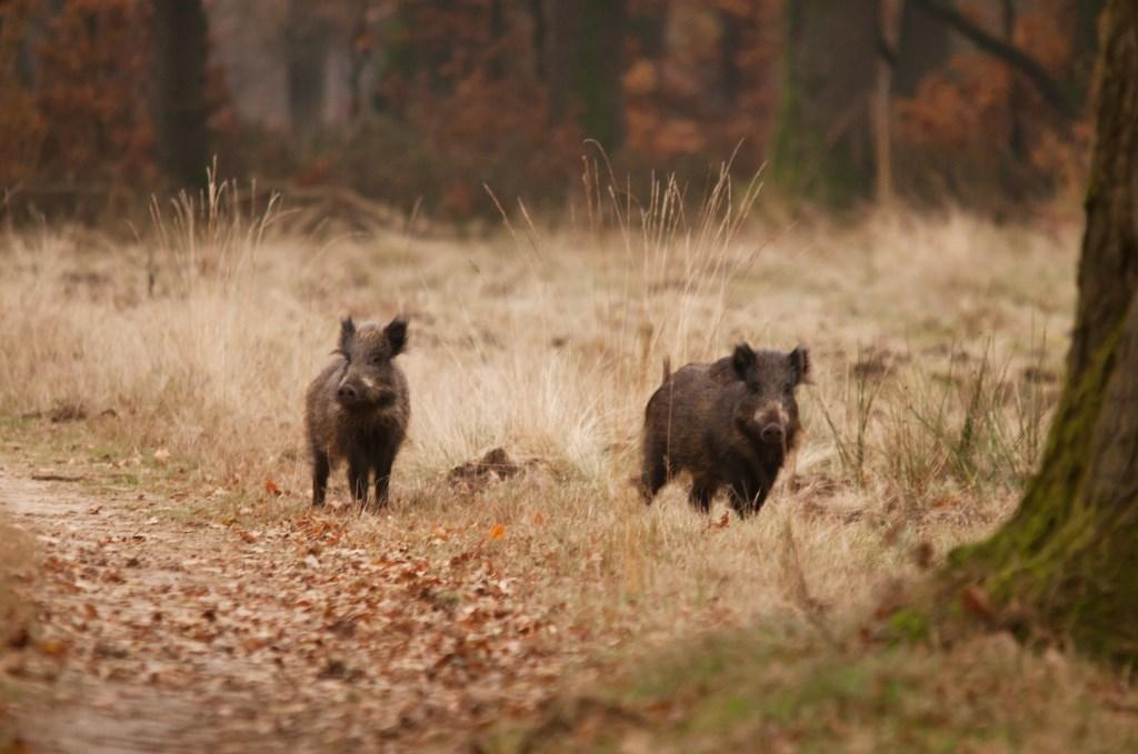 Wilde Zwijnen Foto: Gerrit van Vemde © Persgroep