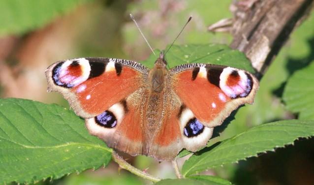 De dagpauwoog is heel gemakkelijk te herkennen. Een grote roodbruine vlinder met kenmerkende (pauw) oogvlekken.(foto: Thomas van der Es)