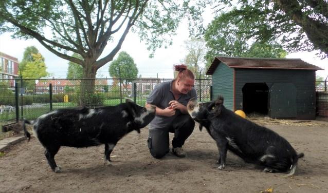 Karin met Shrek en Fiona. Varkens zijn makkelijk te trainen volgens haar. Ze zijn slim en hebben de cognitieve leeftijd van een driejarig kind.