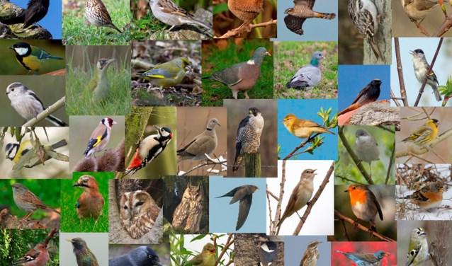 In de kernen komen zo'n veertig vogelsoorten voor, van slechtvalk tot huismus, van bosuil tot fitis. (Foto: Jaap Graveland)