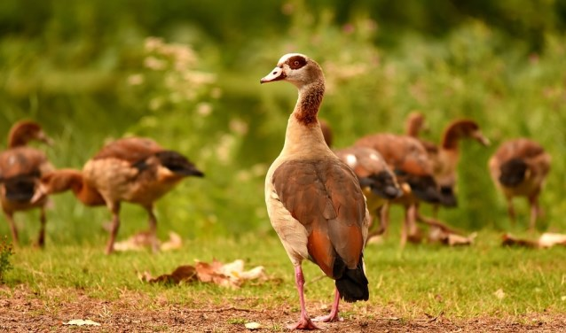 De ganzenpopulatie is in Rijswijk drastisch afgenomen.