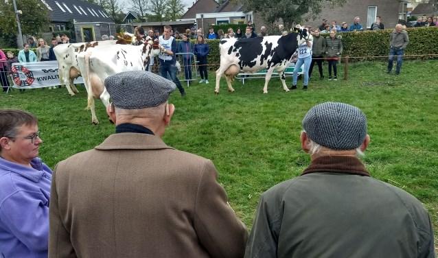 De koeien werden aan het publiek en een jury getoond. Die keken naar beengebruik, aanhechting van de uiers en vorm van het lijf. (foto: Hans Alderliesten)