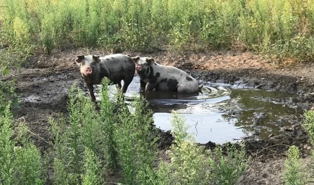 Spek en Lap hebben hun modderbad nodig als zonnebrandcrème.