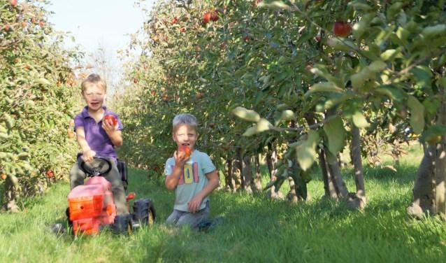 Broers Thijme en Jasper van Bekkum uit Brakel zijn samen op zoek naar mooie, glimmende rode appels. Enwat is dan lekkerder om daar meteen een hap van te nemen? Foto: Marielle Pelle