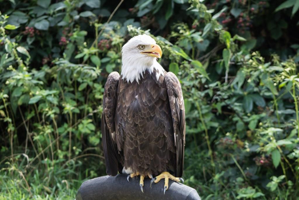 Bezoekers kunnen dit jaar weer genieten van de roofvogelshow. Foto: cora sens © Persgroep