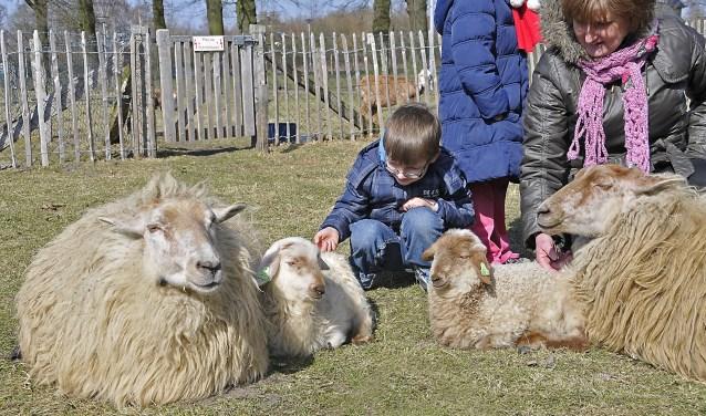 Schapen aaien, geitjes voeren... Er is heel wat te doen op dierendag op de Höfte. Foto: Jack Amels