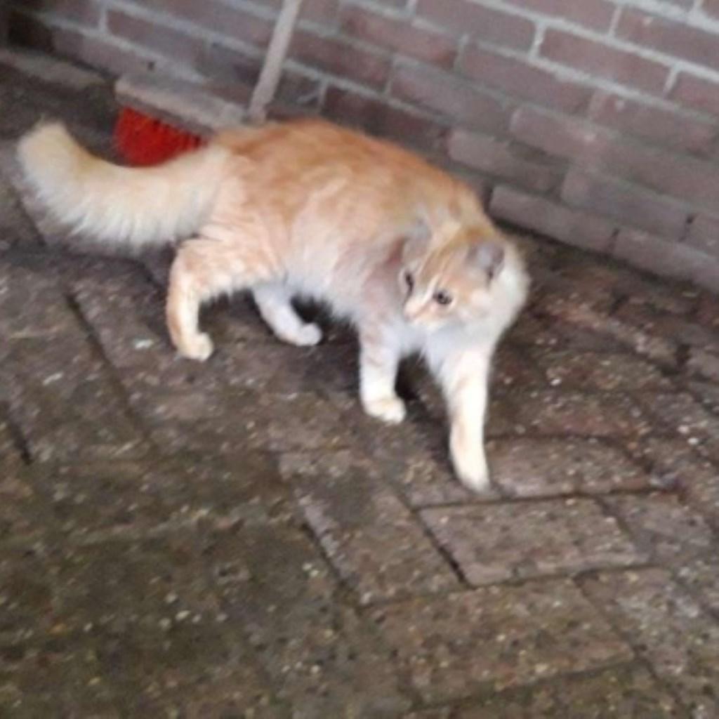 Gevonden kat Woudweg Nijkerkerveen. Foto: vinder © Persgroep