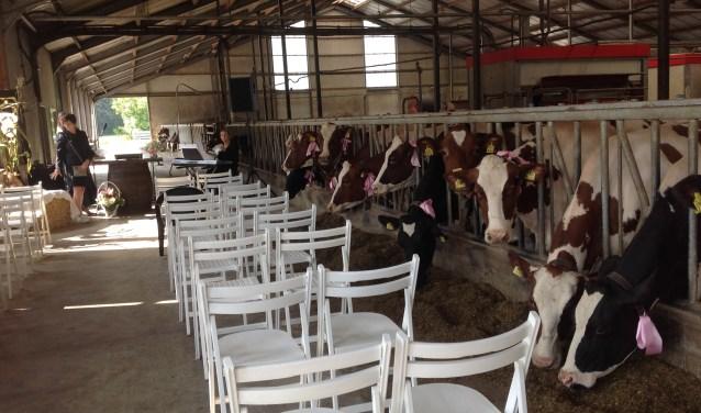 De koeien hadden voor de gelegenheid allemaal roze strikken aan.
