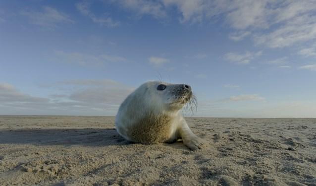 Een zeehond op een zandplaat van het Wad, een van de prachtige beelden uit de film.
