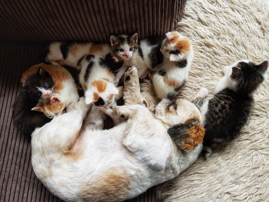 Fynn met zeven kittens aan het chillen op de bank.  Foto: Kittens Wierden © Persgroep