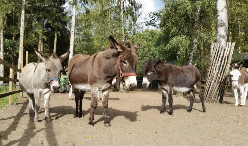 v.l.n.r.: nieuwe ezels Dolores en No-no, en oudgedienden Mannis en Goofert.