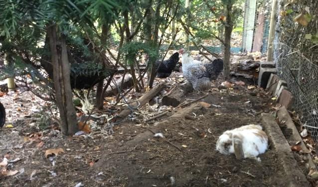 Door snel optreden hebben deze kippen en het konijn de aanval overleefd. (Foto DFP).