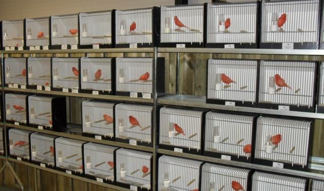 Mooie collectie rode kanaries