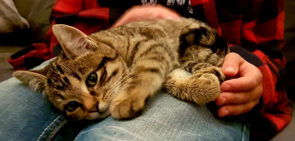 Sylke (nu Maartje) voelt zich gelijk thuis bij haar nieuwe baasjes.  Foto: Kittens Wierden / Jolanda © Persgroep