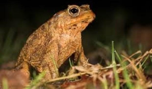 Nederland kent zestien amfibiesoorten, die allemaal beschermd zijn door de Flora- en Fauna wet.