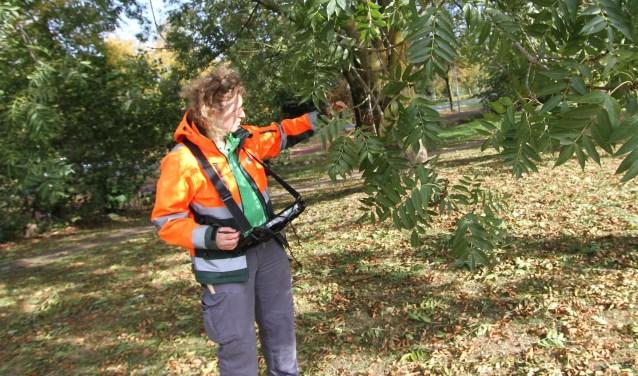 Boominspecteur Hanneke de Bruijn aan het werk in de groenstrook aan Het Groen. FOTO: Ad Adriaans.
