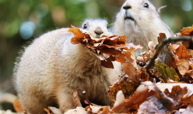 De prairiehondjes in weten wel raad met al die vallende bladeren. (Foto: DA)