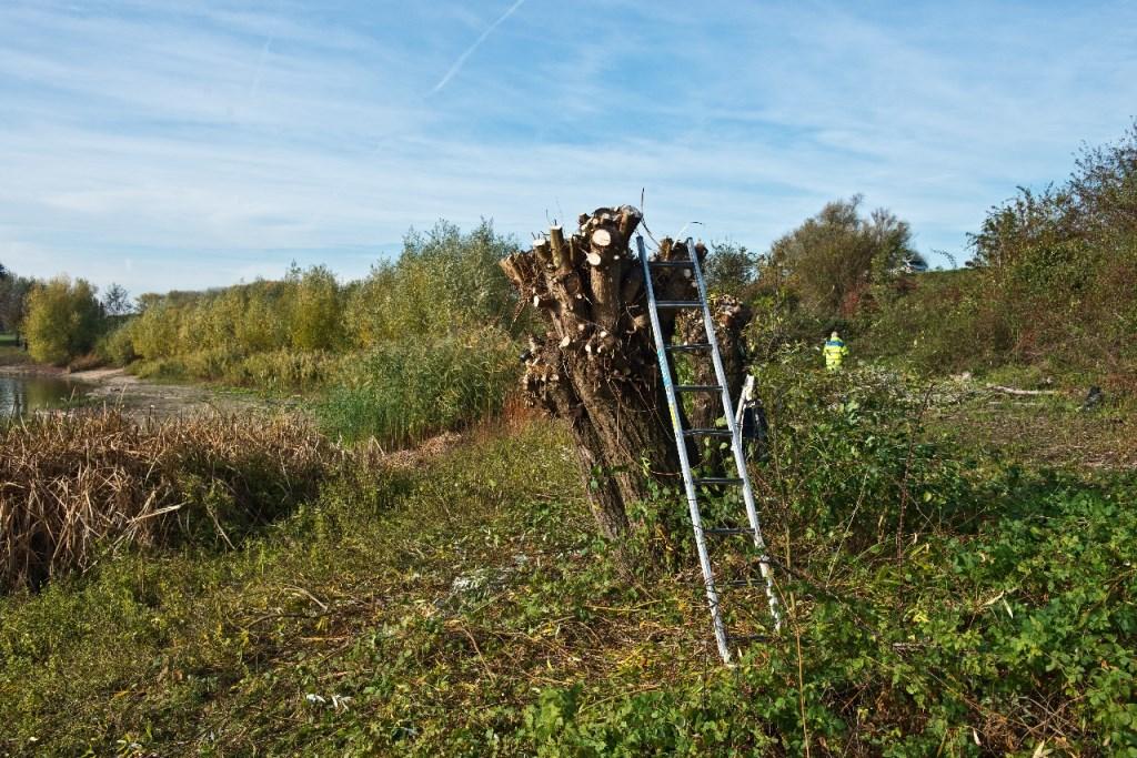Een geknotte wilg, klaar om weer een paar jaar flink te groeien. Foto: MaaiMedia © Persgroep