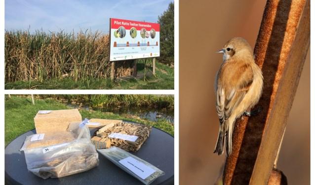 Proefveld polder De Nesse, lisdoddeproducten (Jaap Graveland). De buidelmees bouwt van lisdoddepluis een warm nest (Dirk-Jan van Roest).