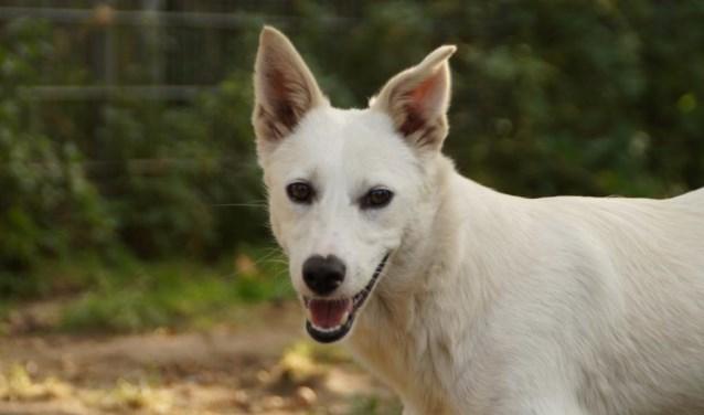 Elke week zet Dierenopvangtehuis De Bommelerwaard een dier in het zonnetje. Deze week is dat Blanca. Kijk voor meer informatie op www.dierenasiel-bommelerwaard.nl.