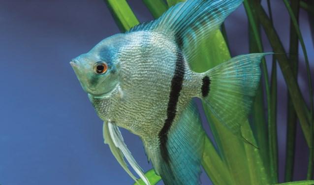 Wie twee wissen koopt bij Animal Center, betaalt er één en neemt de andere gratis mee naar huis. Die kan bijvoorbeeld rondzwemmen in een fris, door een aquascaper gedecoreerd aquarium.