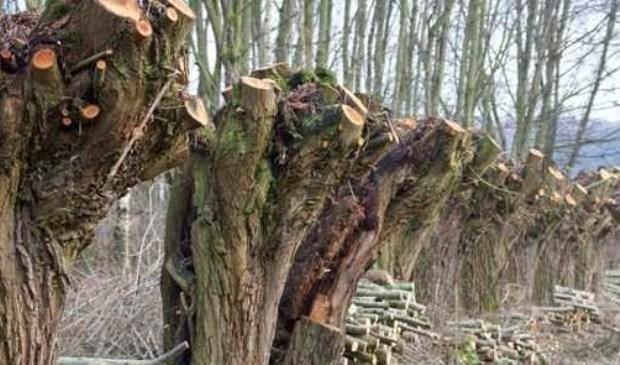 De knotwilgen in natuurgebied De Vest krijgen een snoeibeurt.