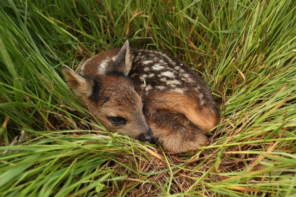 Een pasgeboren reekalfje vlucht niet maar maakt zich zo klein mogelijk. (foto: Dick Pasman) Foto: Dick Pasman © Persgroep