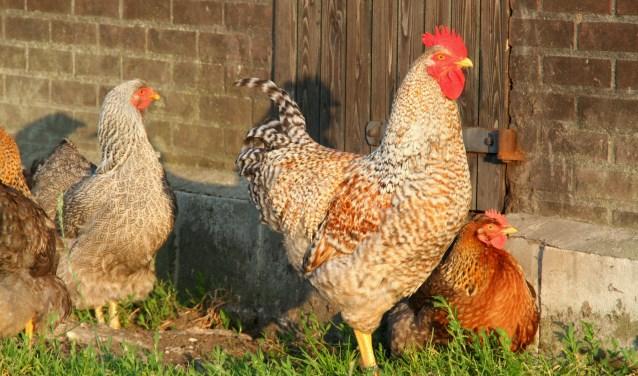 Kippen, konijnen en vogels met prachtige namen zijn komend weekend te bewonderen bij Nut & Sport in Oldenzaal.