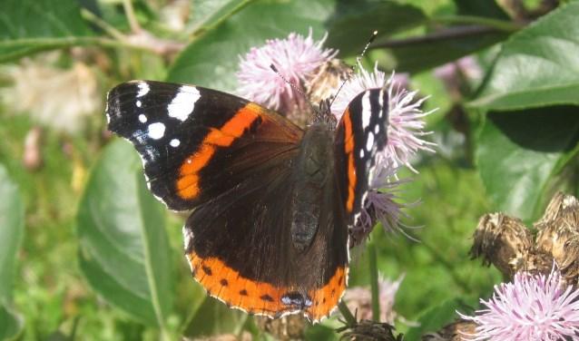 Sommige vlinders, zoals deze atalanta, vliegen naar Zuid-Europa om de winter door te komen.