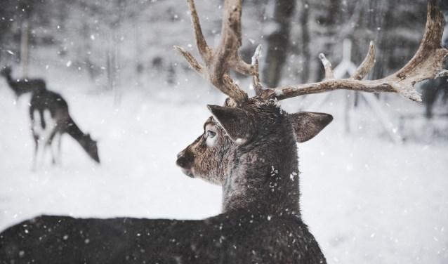 De mannetjes en de vrouwtjes zagen er uit als grote herten. De rendierendroegen een groot deel van het jaar allemaal een gewei.
