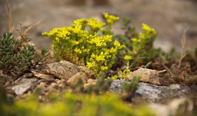 Sedum is een vetplant die goed tegen droogte én vochtige periodes kan.