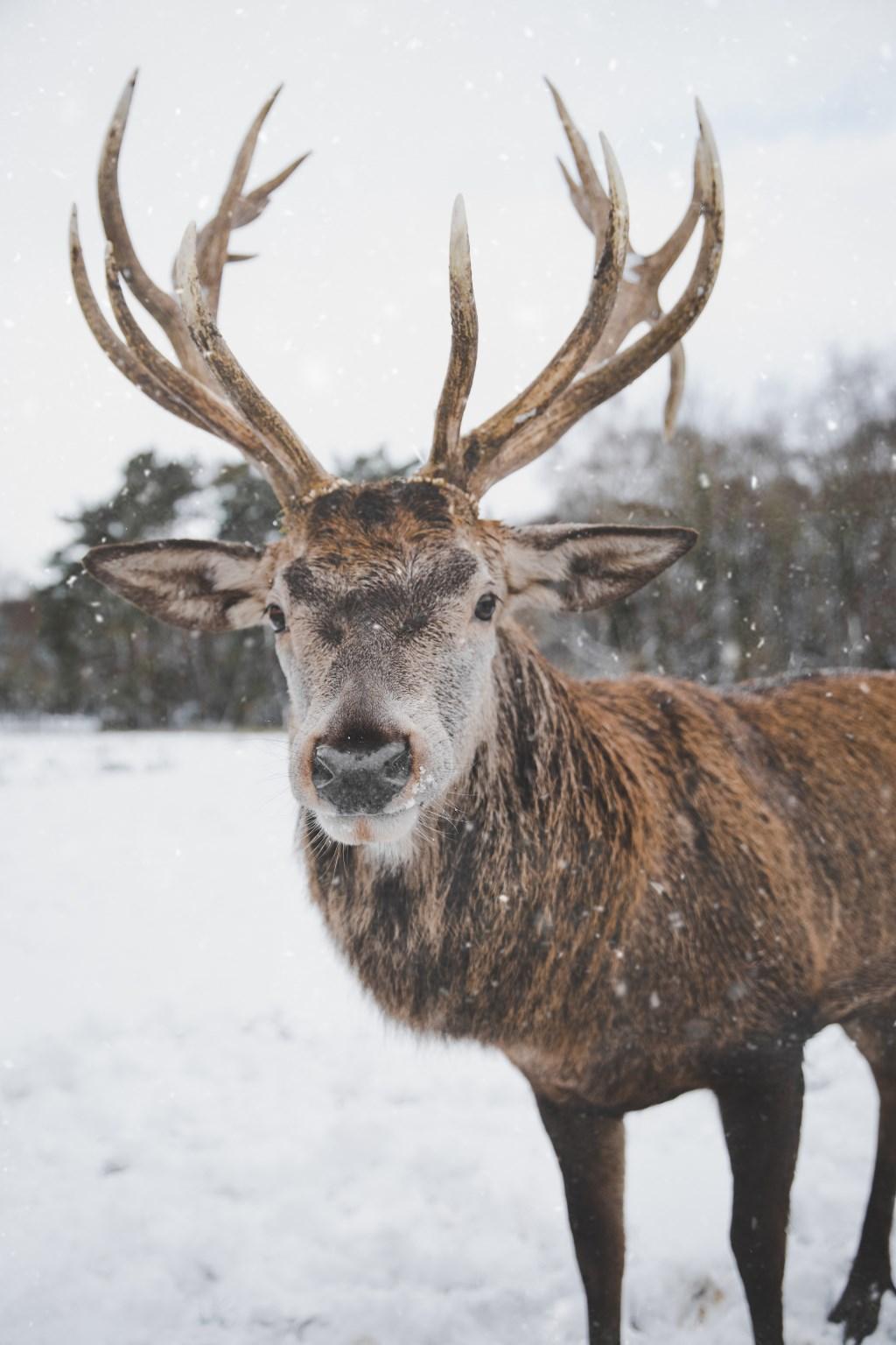 De Kerstman was erg verdrietig over het afscheid. Hij had de tranen in zijn ogen staan en dacht aan de acht prachtige trotse dieren.  © Persgroep