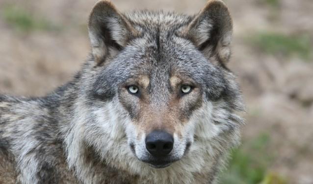 De Europese wolf is terug in de Veluwse natuur
