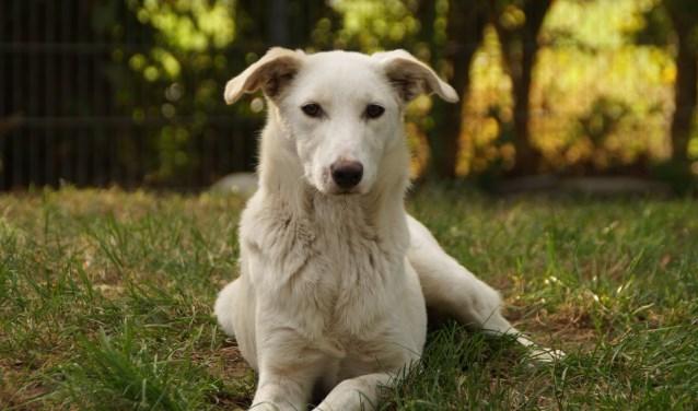 Elke week zet Dierenopvangtehuis De Bommelerwaard een dier in het zonnetje. Deze week is dat Bianca. Kijk voor meer informatie op www.dierenasiel-bommelerwaard.nl