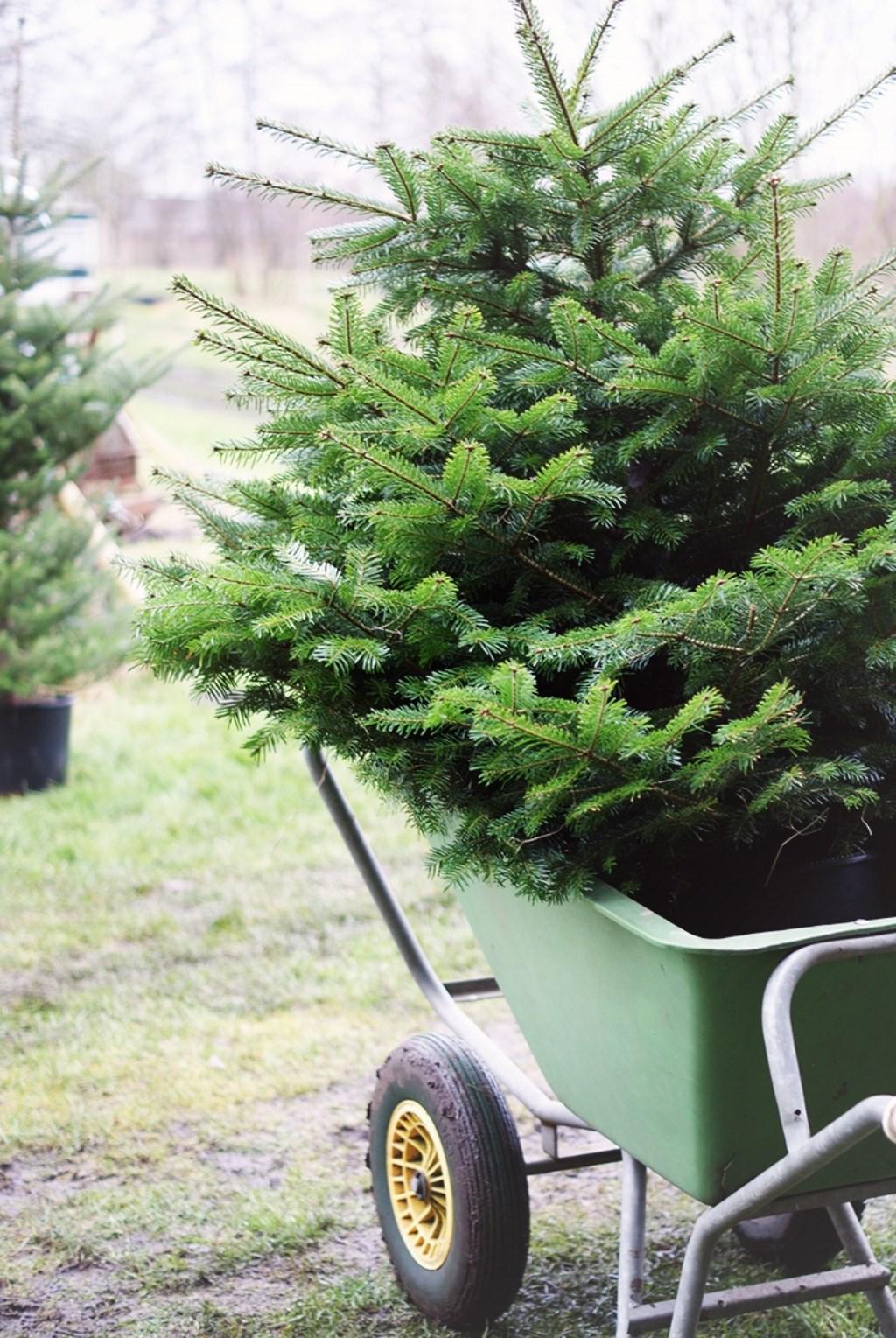 adoptieboom op de kwekerij Foto: Adopteereenkerstboom © Persgroep