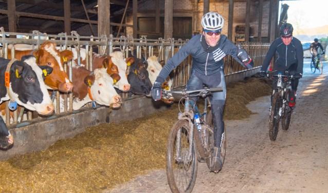 Deelnemers fietsen ook door de koeienstal van de familie Schutte. Foto: Jan Scheperman.