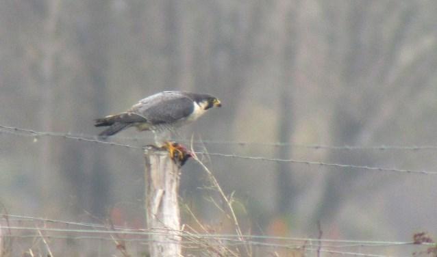 Slechtvalken zijn razendsnelle jagers, waarbij ze vogels in de vlucht te grazen nemen. In dit geval was het een watersnip..