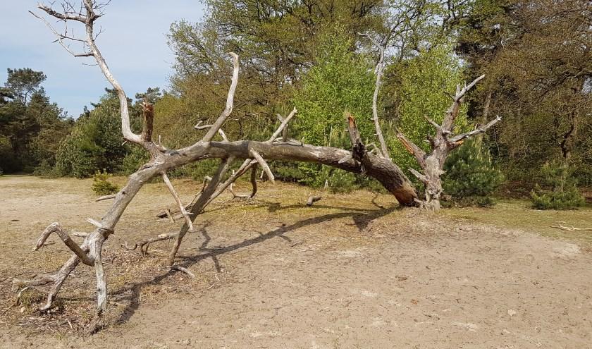 Een omgevallen boom locatie Loon en drunense duinen.