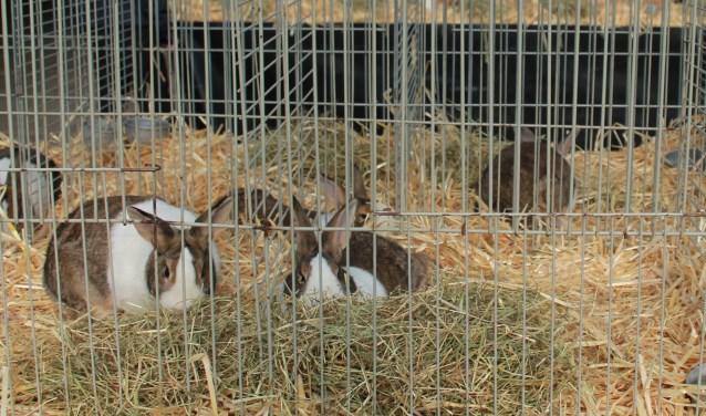 Hollander konijnen op de show