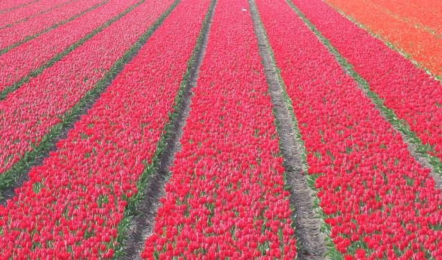 Deelnemers krijgen meer informatie over tulpen in het Tulpeninformatiecentrum. Foto ter illustratie.