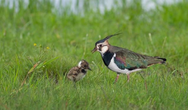 Een kievit met een 'pul'. Doorgaans leggen weidevogels vier eieren die hopelijk allemaal uitkomen. (Foto: Landschap Erfgoed Utrecht)