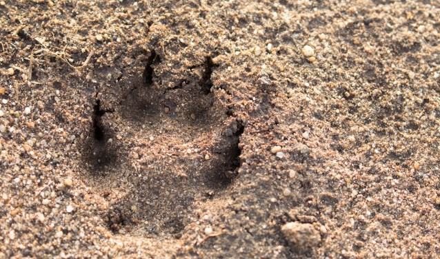 Hier is een vos geweest...