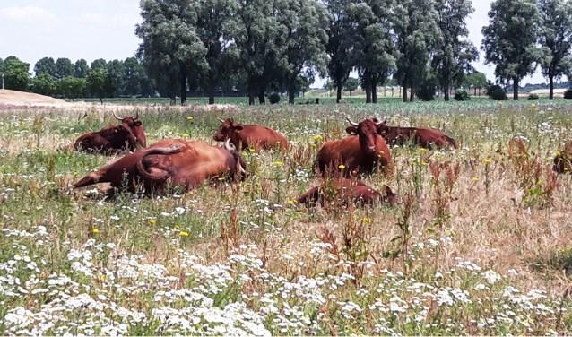 In het Kanaalpark grazen rode geuzen. Dat zijn runderen van Stichting Free Nature die ervoor zorgen dat het park niet helemaal dichtgroeit met bos.