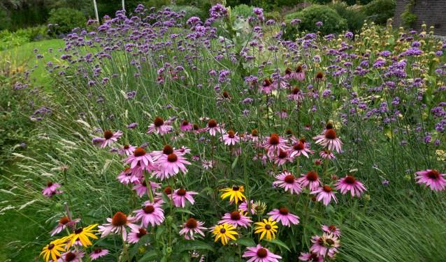 Echinacea purpurea (roze), Rudbeckia fulgida 'Goldsturm' (geel) en Verbena bonariensis (lila) zijn goed te zaaien, bloeien lang en trekken veel insecten.