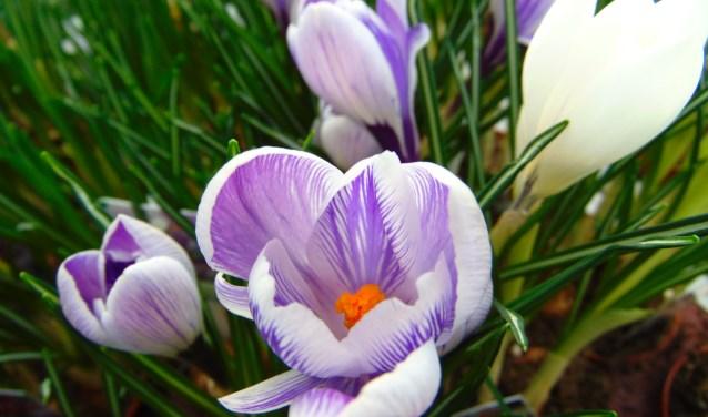 Iedere bloem bevat slechts drie meeldraden.
