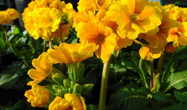 Slanke sleutelbloemen zijn zeldzaam en staan als beschermde soort op de rode lijst.