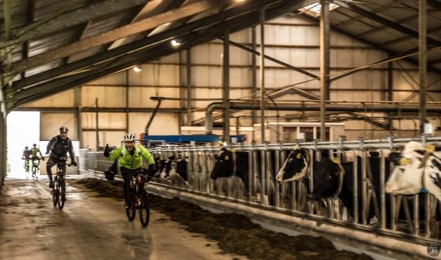 Al na een kilometer of 5 fietsen de deelnemers door de koeienstal van Te Biesebeek om daarna het Kerkloobos in te duiken. Foto: Henk ter Horst