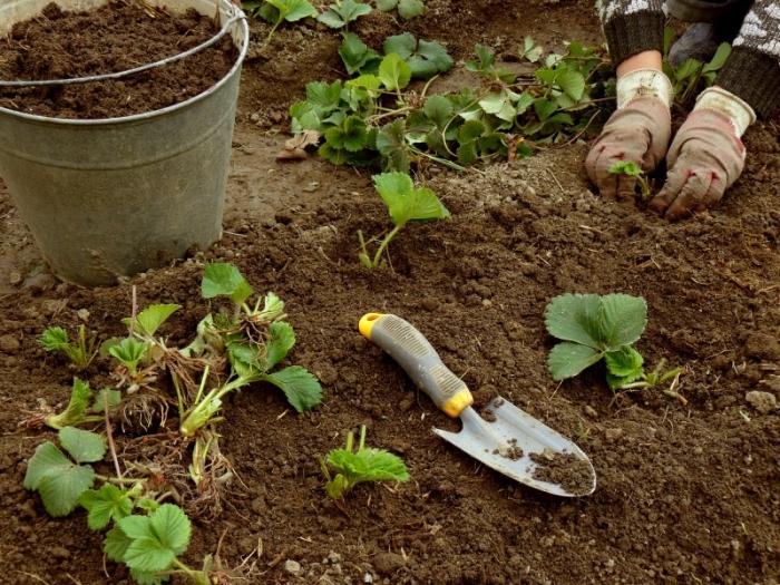aarbeien planten MKievit © Persgroep